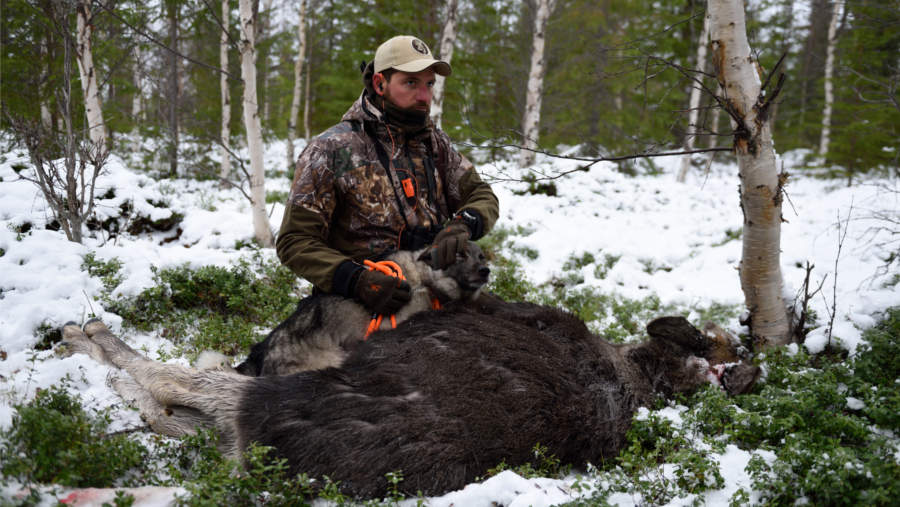 Swedish Moose Hunt