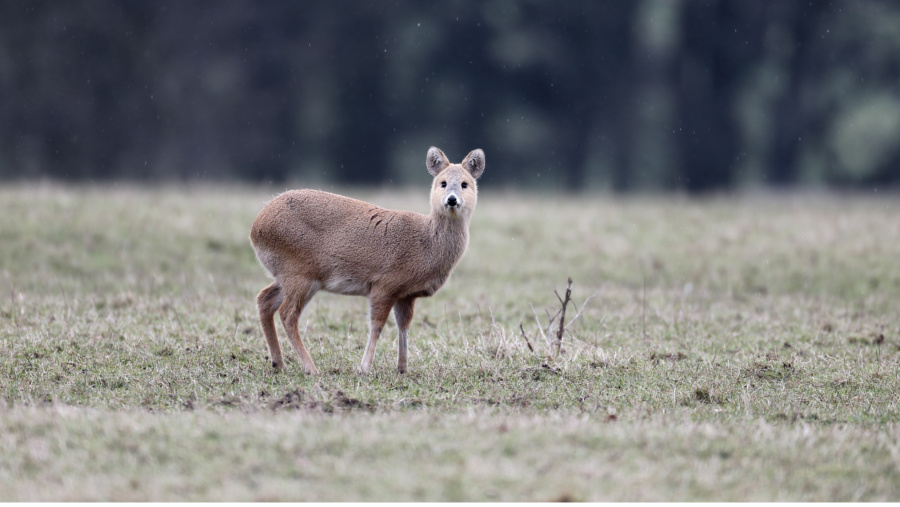 UK Chinese Water Deer