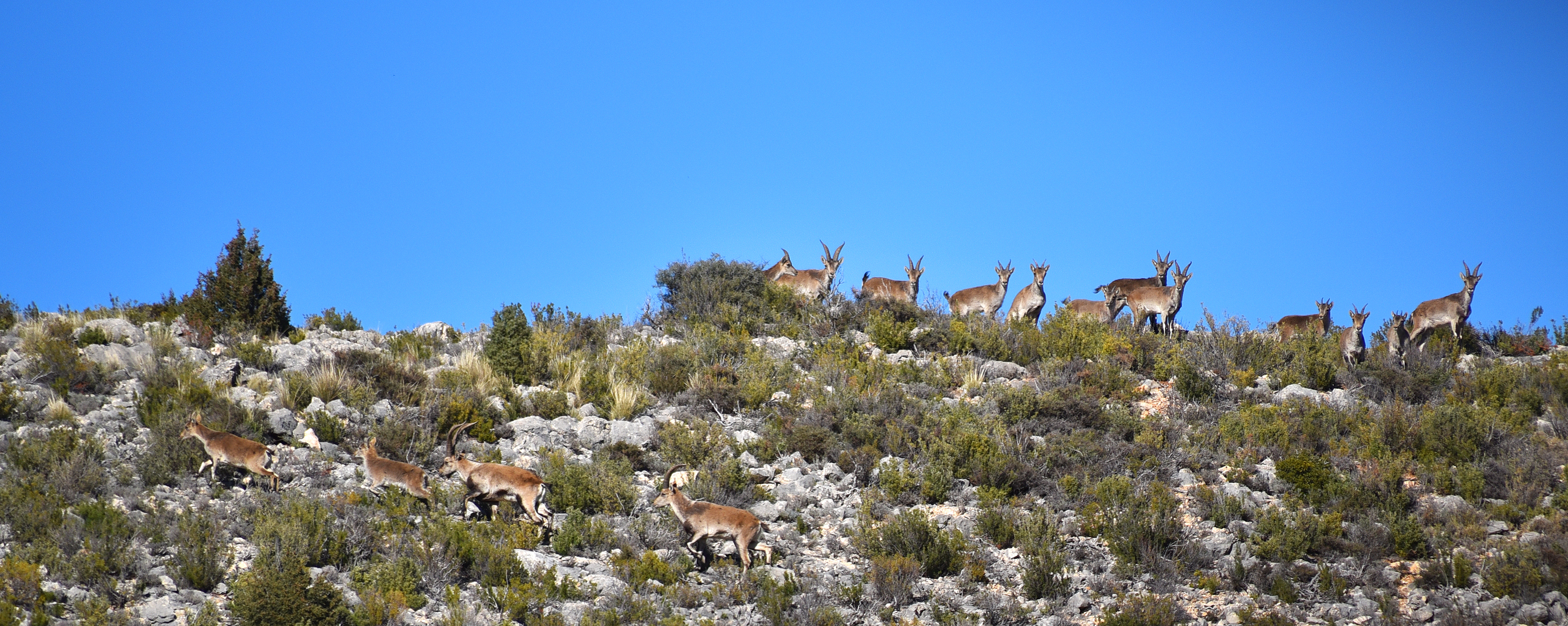 Ibex On The Mountain