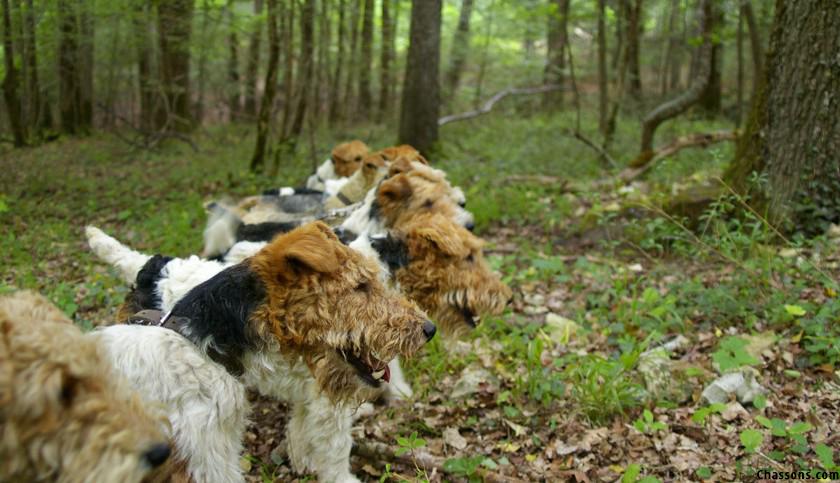 browning-blog-fox-terrier-chien