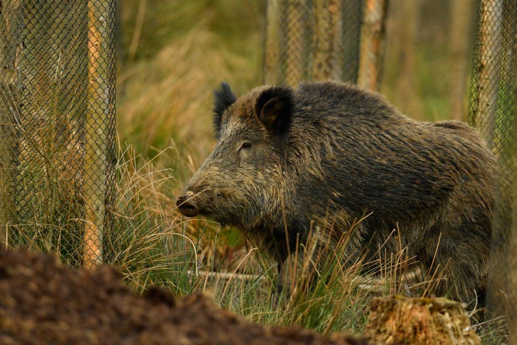 Browning-blog-wild-boar-tank-legs