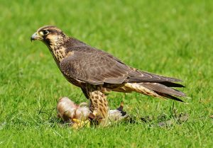 browning-blog-falconry-thumb