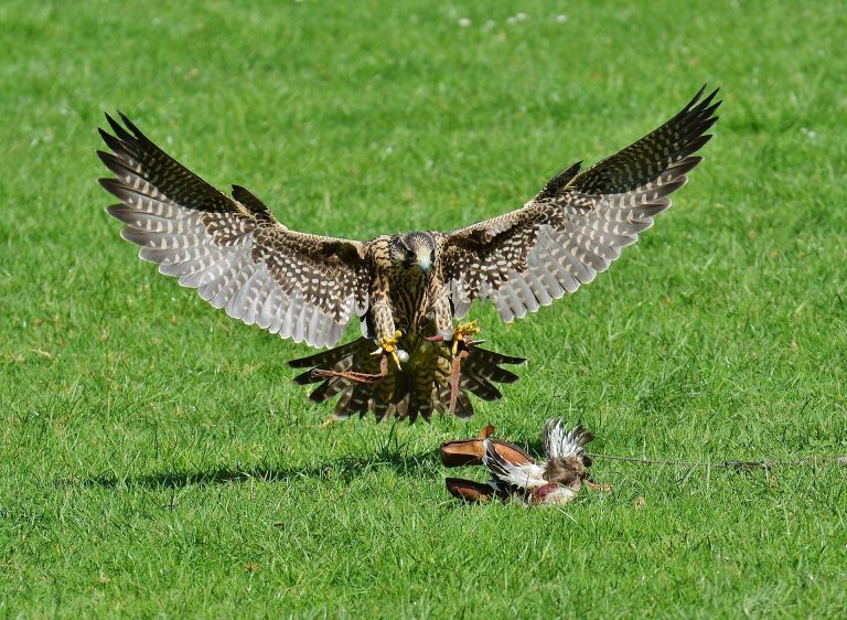 browning-blog-falconry1