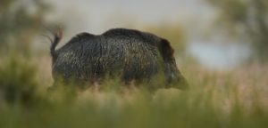 Browning Blog - African Swine Fever