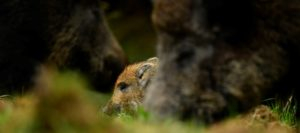 Browning Blog: Management of wild boar in the United Kingdom