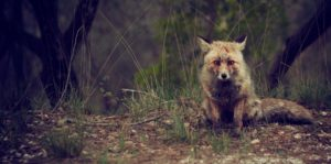 Browning Blog: Pest management in the United kingdom (fox and rabbit)