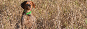 Browning blog : Brittany Spaniel