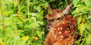 Browning blog : Fawns in danger - Drones to the rescue